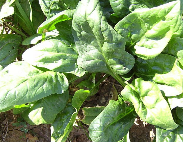 Spinach Proteins Help with Harnessing Solar Energy