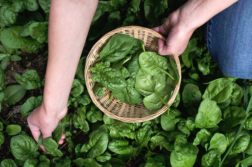 hydrogen fuel spinach innovations