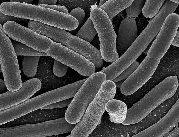 e. coli bacteria biofuel
