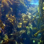 Using e-coli, researchers are able to generate ethanol from seaweed