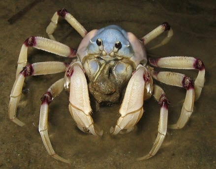 Soldier crabs could unlock the future of computers
