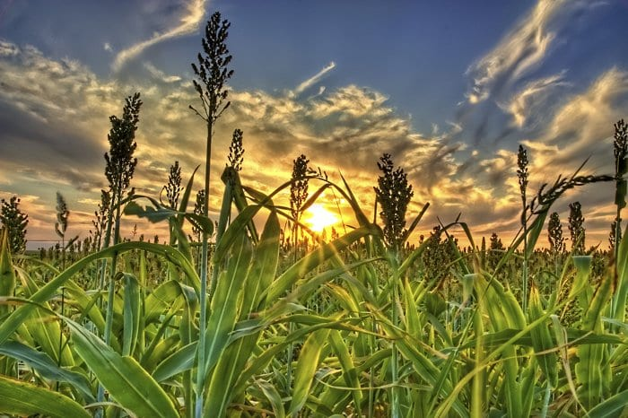 Sorghum may be capable of improving the stance of biofuels