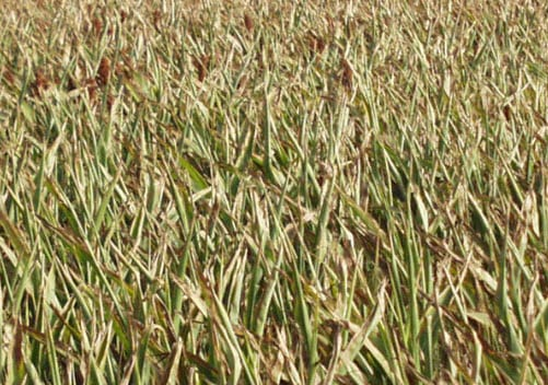 Corn Crops Drought