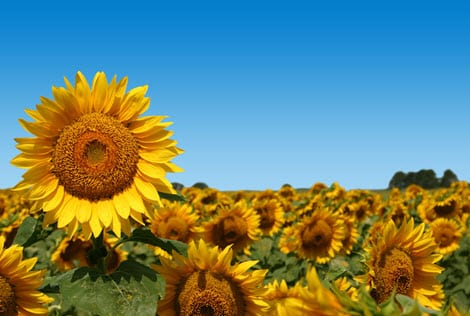New solar energy system mimics sunflowers