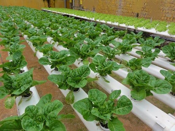 Green technology - lettuce farm
