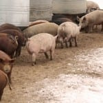 Waste to energy plant creates power from hog manure