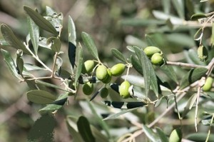 Waste to Energy - Olive Tree