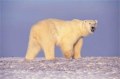 Arctic Drilling - Polar Bear in Alaska