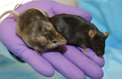 Fracking Chemical Study - Mice