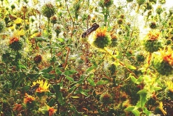 Biofuel Research - Gumweed