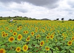 India Renewable Energy - Field of Sunflowers