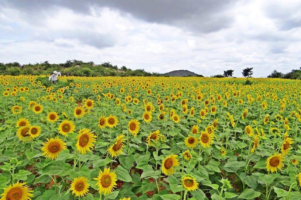 India Renewable Energy - Field of Sunflowers