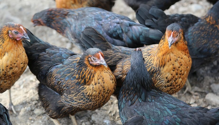 Waste-to-energy technology could help power chicken farms