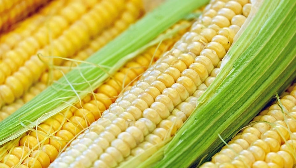 Corncob Biofuel - Corn - Corn on the cob