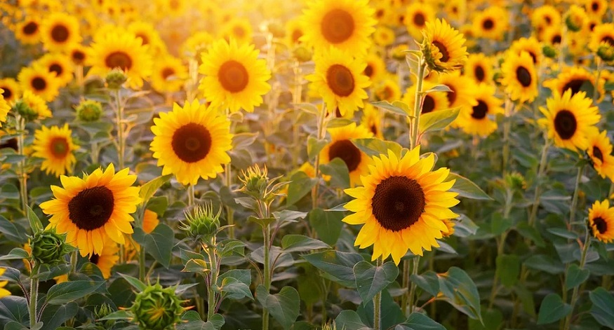 SunBOTs: new sunflower-inspired technology could optimize solar panels