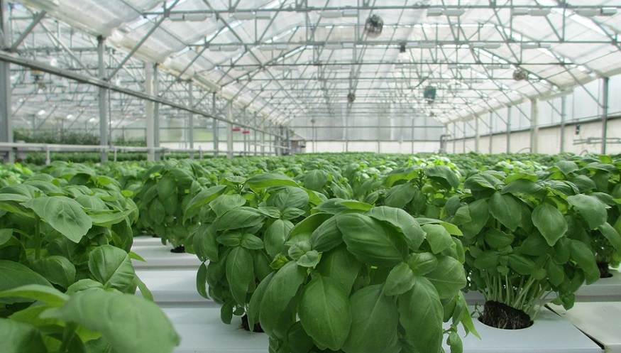 waste to energy GHG emissions - basil plants in greenhouse